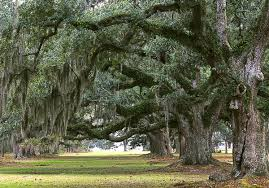 Savannah's magnificent Spanish Moss